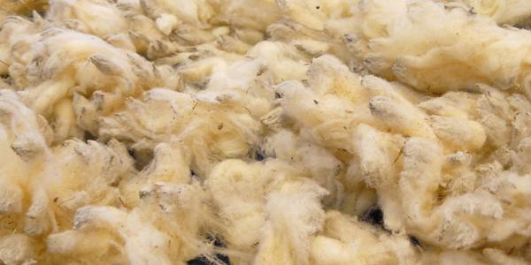 La laine après la tonte